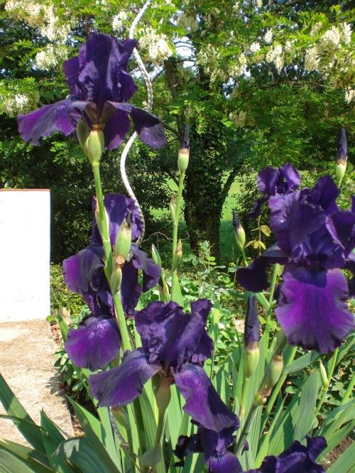 Iris in flower
