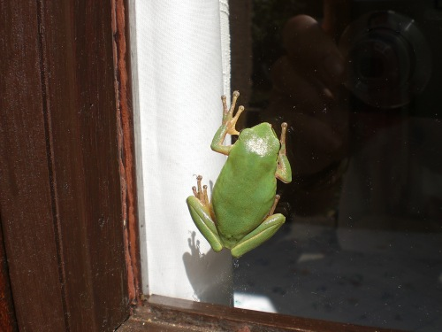 Froggy on the window