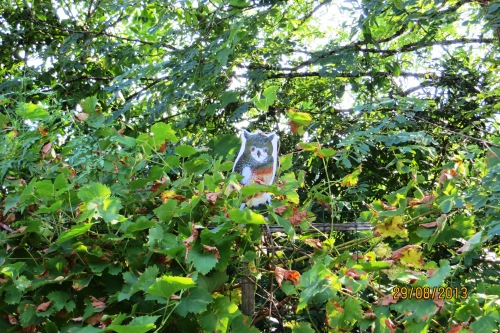 And while we are away this little guy has to protect the grapes from the blackbird.